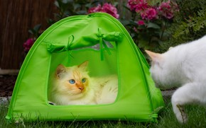 Picture cat, cat, look, face, cats, pose, garden, tent