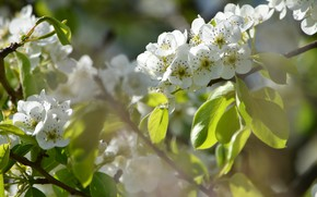 Picture leaves, light, flowers, branches, spring, pear, white, flowering, bokeh, грушевый цвет