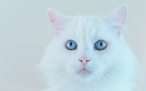 Picture cat, white, cat, look, face, background, portrait, light, white, blue eyes, fluffy, Angora