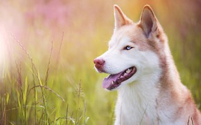 Picture language, grass, look, face, light, nature, portrait, dog, red, blue eyes, husky