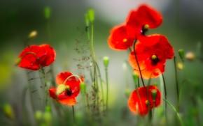 Picture summer, flowers, background, glade, Mac, Maki, treatment, blur, red, haze, bokeh