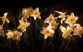 Picture flowers, the dark background, glade, spring, white, daffodils, yellow