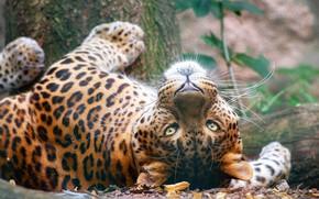 Picture forest, cat, look, face, pose, portrait, predator, leopard, lies, wild, wildlife