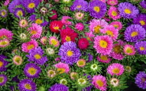 Picture flowers, colorful, a lot, asters