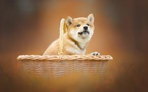 Picture background, basket, dog, puppy, Shiba inu