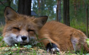 Picture look, animal, Fox, fur, red