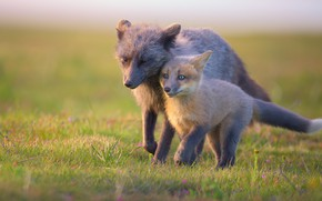 Picture Fox, pair, Fox, mom, Fox