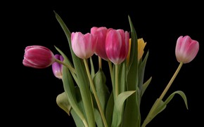 Picture bouquet, tulips, black background, pink tulips