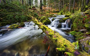 Picture forest, trees, stream, stones, moss