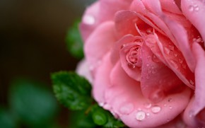 Picture flower, leaves, water, drops, macro, nature, rose