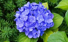 Picture leaves, macro, flowers, garden, blue, lilac, hydrangea