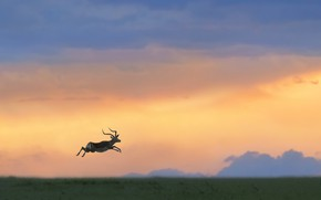Picture jump, Savannah, Africa, jump, Africa, savannah, antelope, antelope