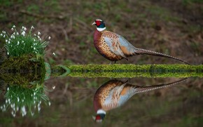 Picture water, flowers, reflection, bird, shore, spring, snowdrops, pond, pheasant, bright plumage, Berezhok
