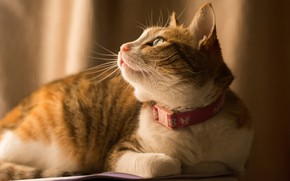Picture cat, cat, look, background, red, lies, profile, collar, striped, soft light, looking up