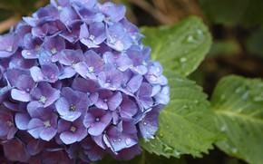 Picture water, drops, flowers, Hydrangea