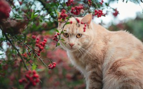 Picture autumn, cat, cat, look, face, branches, berries, portrait, red, fruit, Rowan, bokeh