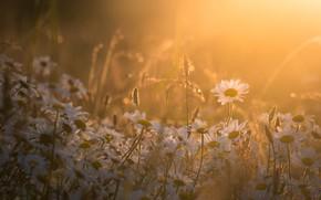Picture light, glade, chamomile