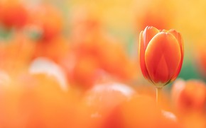Picture flower, background, Tulip
