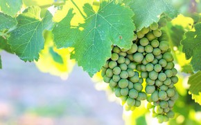 Picture green, grapes, vineyard, immature