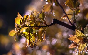 Picture leaves, water, drops, macro, nature, branch, bokeh, Nelia Rachkov