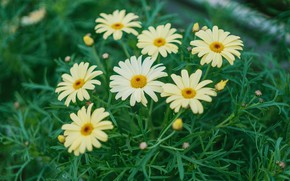 Picture greens, leaves, flowers, chamomile, yellow, garden, white, flowerbed, feverfew