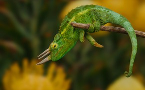 Picture green, chameleon, background, lizard, horns, reptile