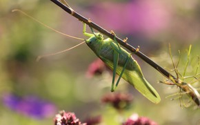Picture summer, macro, green, stem, insect, grasshopper, bokeh