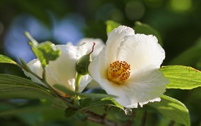 Picture flowers, branch, white, Japanese, stewartia, pseudocamellia