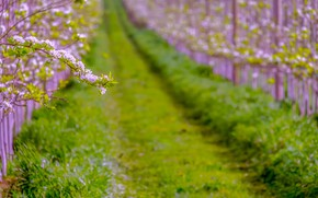 Picture summer, grass, branch, spring, pear, flowering, blossom, hall, pear, bloom