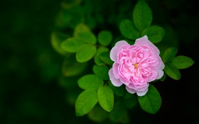 Picture rose, leaves, bokeh