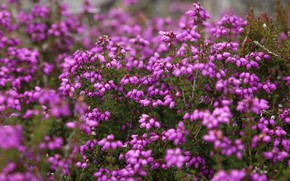 Picture flowers, thickets, pink, a lot, bokeh, Heather