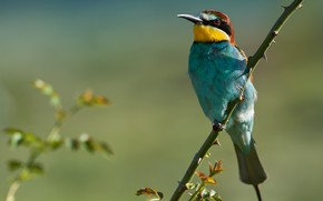 Picture nature, bird, branch, European bee-eater, Kalin Botev