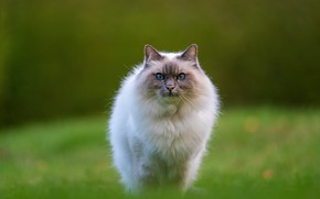 Picture cat, grass, cat, look, pose, muzzle, walk, lawn, green background, ragdoll