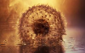 Picture drops, light, dandelion