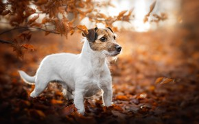 Picture autumn, look, face, leaves, light, branches, nature, pose, Park, foliage, dog, yellow, white, is, face, …