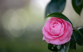 Picture flower, leaves, background, pink, branch, bokeh, Camellia