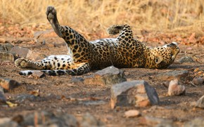 Picture look, nature, pose, stones, background, stay, relax, paws, leopard, lies, collapsed, rolling ballet