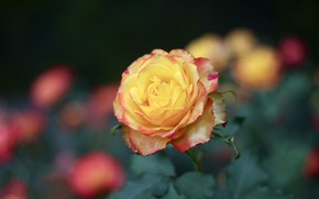 Picture rose, beauty, yellow