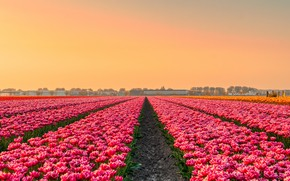 Picture field, flowers, spring, tulips, pink, Netherlands, plantation, great