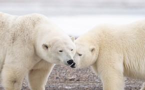Picture a couple, Polar bears, two bears, Polar bears