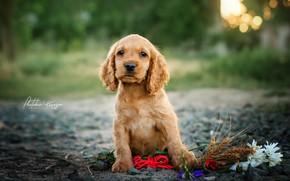 Picture look, flowers, chamomile, puppy, ears, bokeh, doggie, Ekaterina Kikot