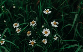Picture Nature, Grass, Plant, Daisy, Plants, Nature, Beautiful, Flora, Plants, Blossom, Blooming, Bloom, Flora, Plant, Daisies, …