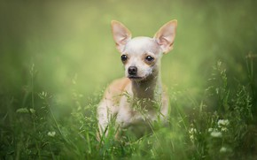 Picture grass, look, nature, portrait, dog, white, dog, green background, Chihuahua