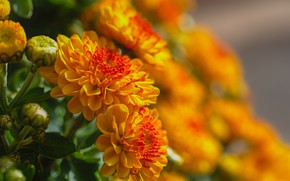 Picture close-up, Bud, blurred background, chrysanthemum