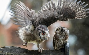 Picture look, birds, background, rain, owl, two, wings, feathers, pair, Board, owls, grey, a couple, friends, ...
