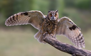 Picture background, owl, bird, wings, Long-eared owl