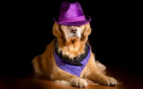 Picture background, dog, hat, nose