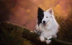 Picture autumn, language, look, face, leaves, nature, pose, background, moss, black and white, portrait, dog, paws, …