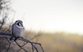 Picture nature, bird, Northern Hawk Owl