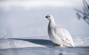 Picture winter, white, snow, background, bird, shadow, white, partridge